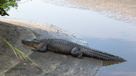 Big Fella, Alligator - click to enlarge