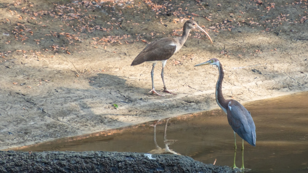 Ibis, Tricolored Heron, And Shadows - click to enlarge