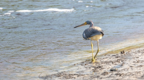 Checking The Shallows, Tricolored Heron - click to enlarge