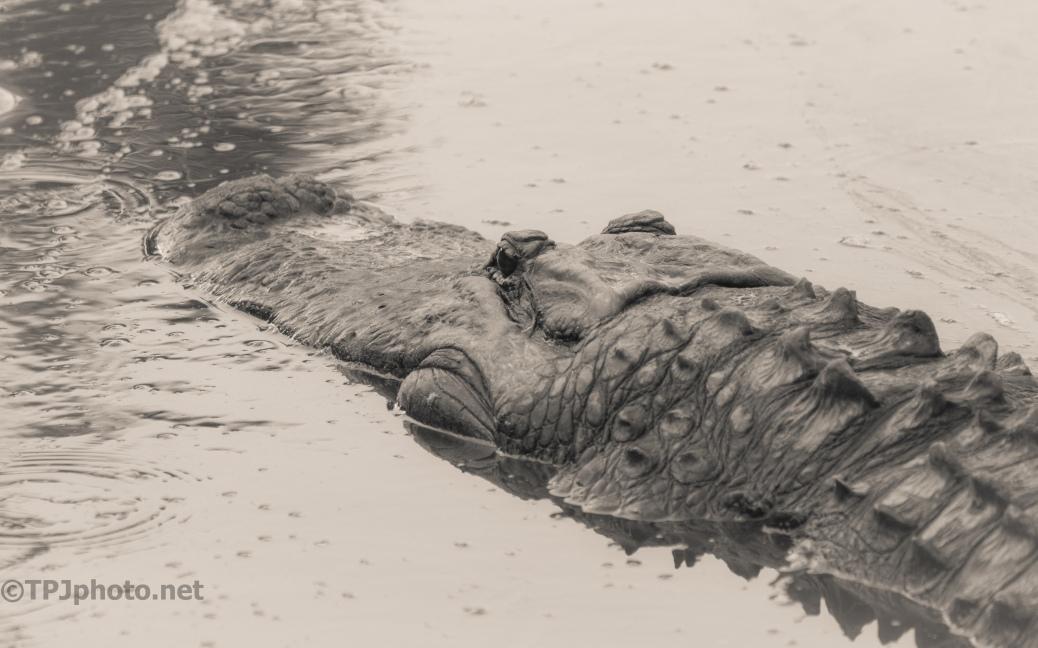 Everyone Needs Head Shots, Alligator - click to enlarge