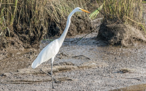 Great Egret Along A Canal - click to enlarge