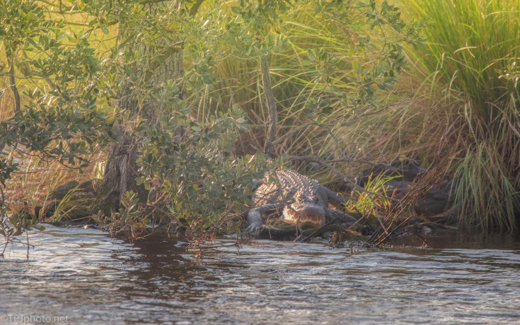 Alpha Male, Alligator - click to enlarge
