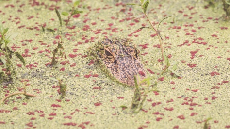 Hiding, Alligator - click to enlarge