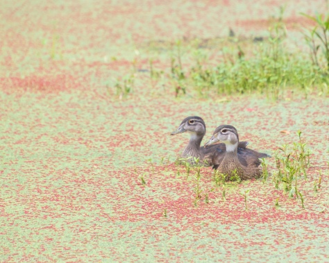 Two Are Still Around, Wood Ducks - click to enlarge