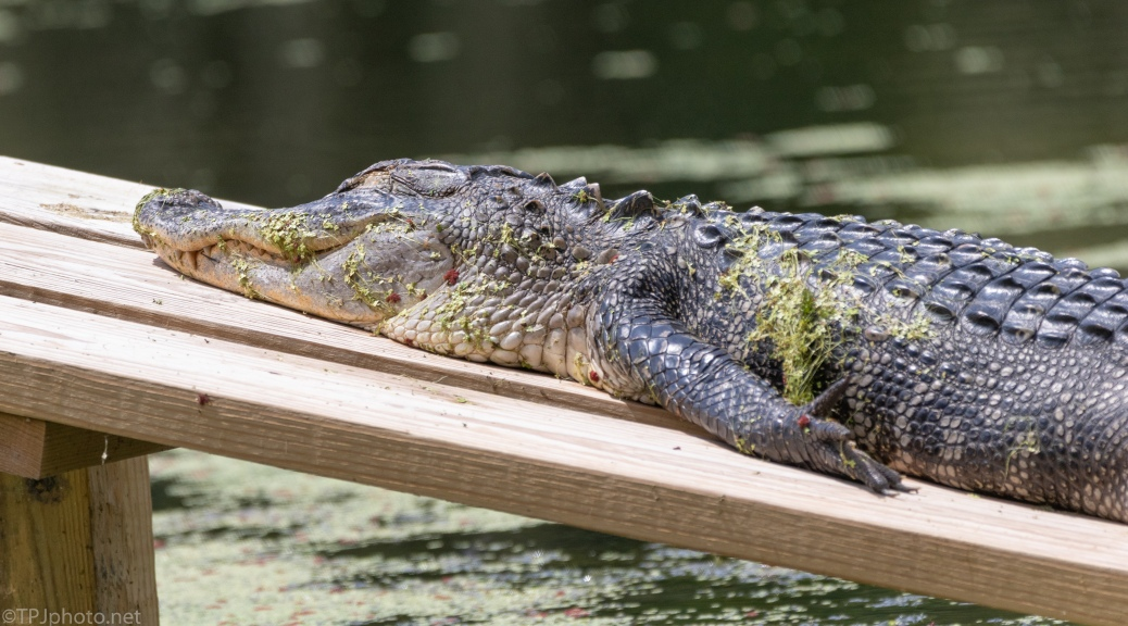 Brain Baked In The Sun, Alligator - click to enlarge