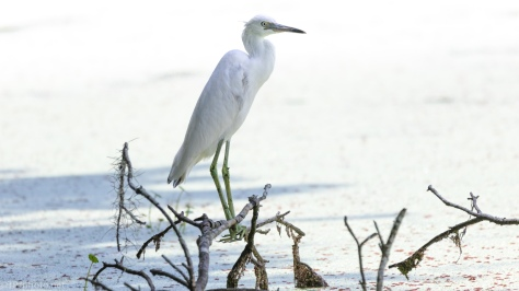 Juvenile Little Blue Heron - click to enlarge
