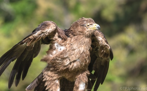 Getting All Fluffy, Red-tailed Hawk - click to enlarge