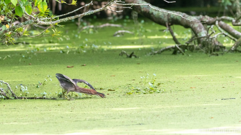 Green Heron, Waiting For The Right Moment - click to enlarge
