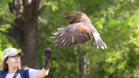 Falconry, Harris Hawk - click to enlarge