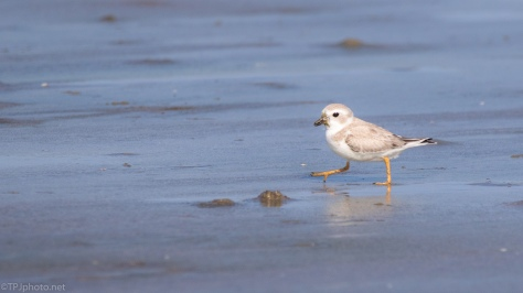 Tapping Toes Piping Plover - click to enlarge