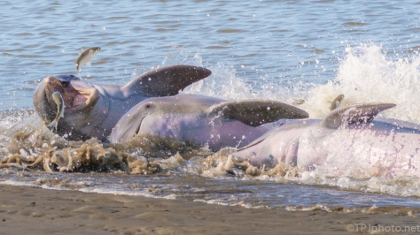 A Little Drama, Dolphins - click to enlarge