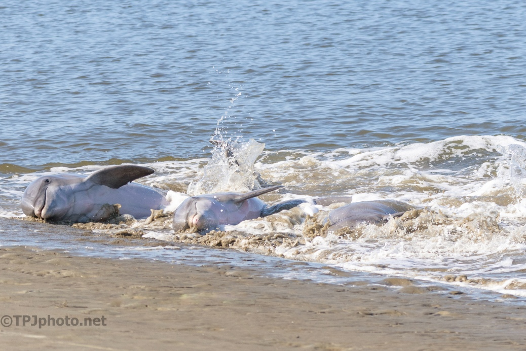 Dolphins, 3 Stranding Fish - click to enlarge