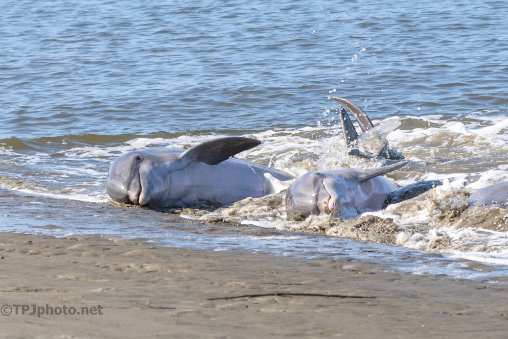 Chasing Fish To Shore, 2 Dolphins - click to enlarge