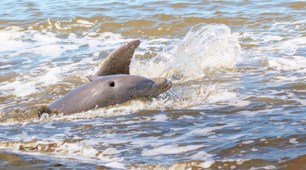 Dolphin With Catch - click to enlarge