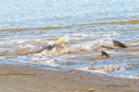 End Of The Hunt, Dolphins - click to enlarge