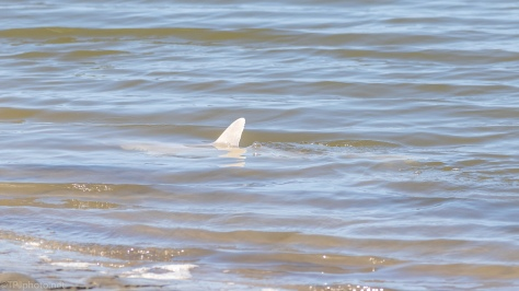 Surprise, A Shark Not Dolphin - click to enlarge