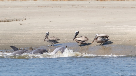 Pelican And Dolphin Meeting - click to enlarge