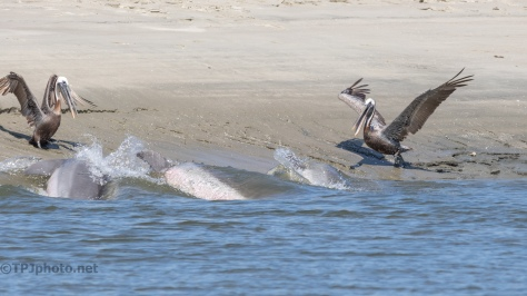 Dolphins, Pelicans, Fish - click to enlarge
