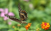 Swallowtail - click to enlarge