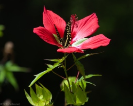 Hibiscus - click to enlarge