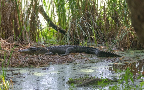 Trail Side, Alligator - click to enlarge