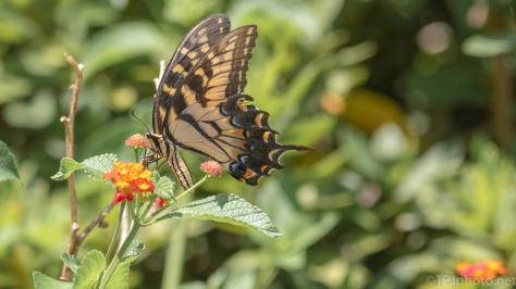 Swallowtail Butterfly - click to enlarge