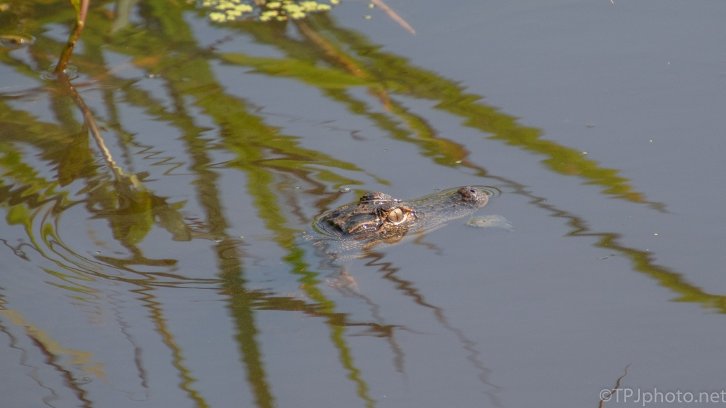 Little Guy, Alligator - click to enlarge