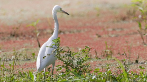 Little Blue Heron, Learning To Hunt - click to enlarge
