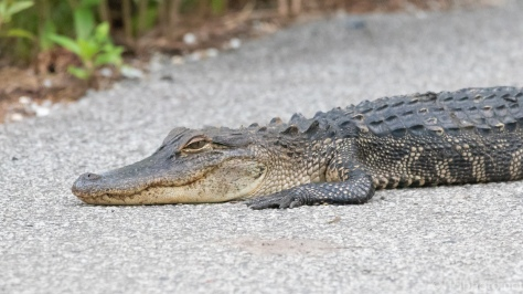 Local Tourist Favorite, Alligator