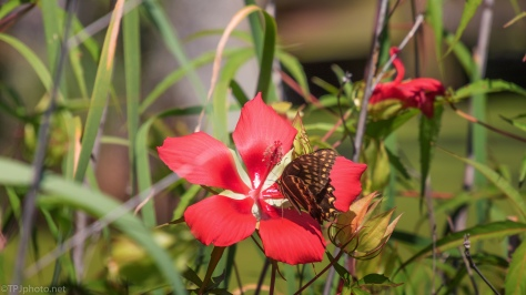 Hibiscus With A Visitor - click to enlarge
