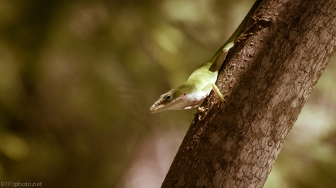Carolina Anole - click to enlarge
