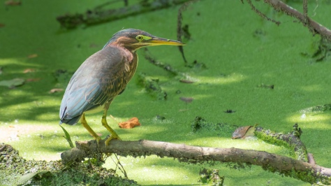 Hunting In A Swamp, Green Heron - click to enlarge