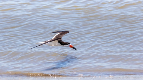 Black Skimmers On Shore - click to enlarge
