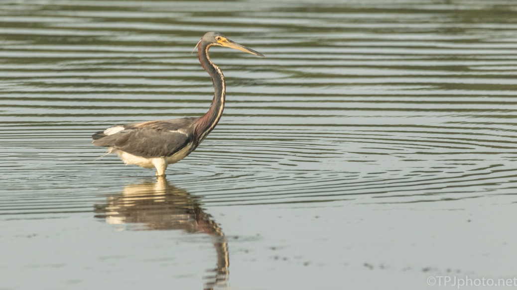 Tricolored Heron, As Long As They Are Around I Will Photograph Them - click to enlarge
