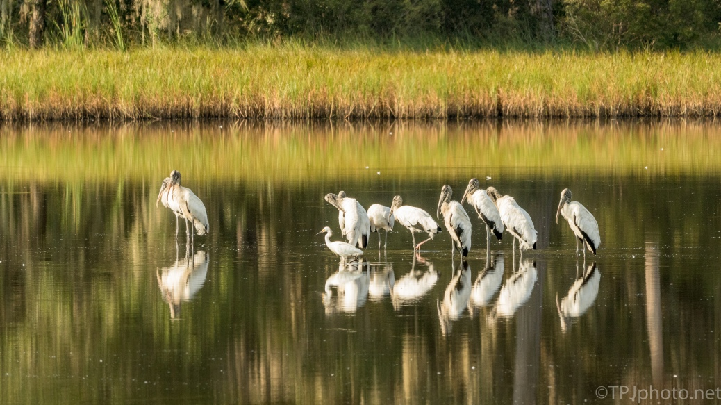 Storks Flocking In A Marsh - click to enlarge