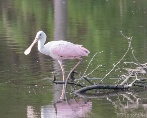 Spoonbill Along The Bank - click to enlarge