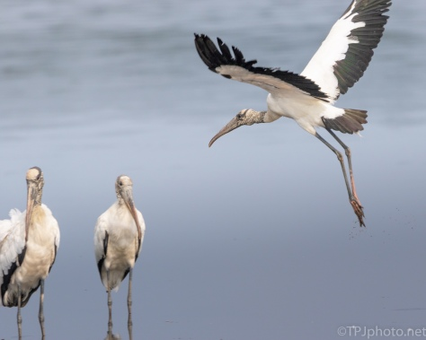 Wood Stork Coming In - click to enlarge