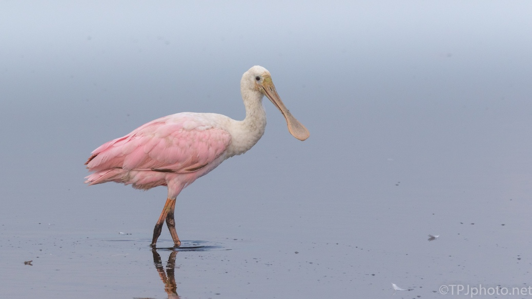 Posing Spoonbill - click to enlarge