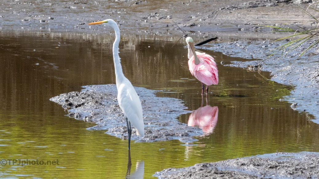 An Odd Couple, Great Egret And Roseate Spoonbill - click to enlarge