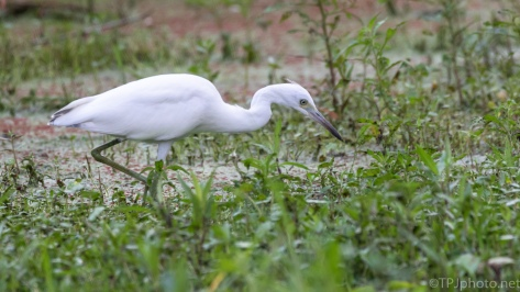 A Little Blue Heron (1) - click to enlarge