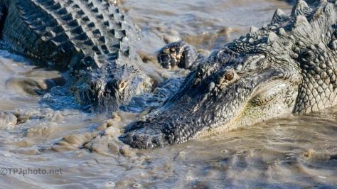 Some Alligator Drama - click to enlarge