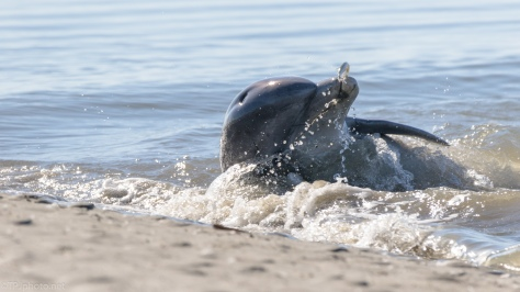 Herding Fish Alone, Dolphin - click to enlarge