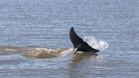 Fish Spinning, Dolphin - click to enlarge