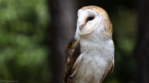 Barn Owl, Profile - click to enlarge