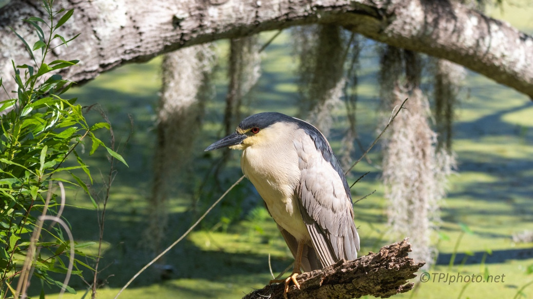 Night Heron Sitting In A Swamp - click to enlarge