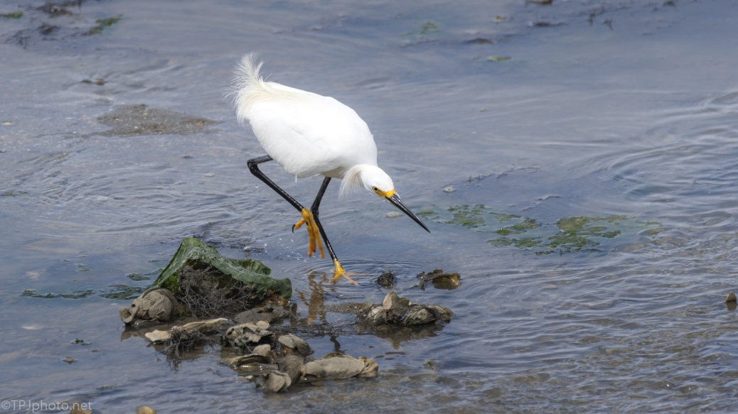 High Drama, Snowy Egret - click to enlarge