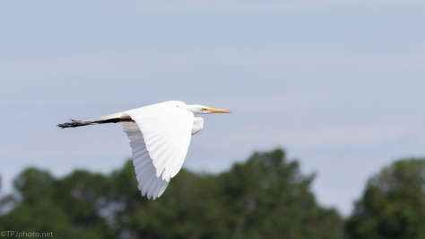 Great Egrets Passing By - click to enlarge