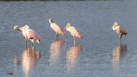 Gathering Of Spoonbills - click to enlarge