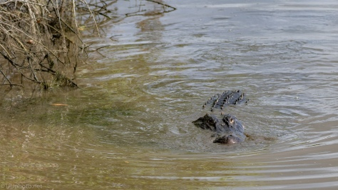 Alligator Fishing - click to enlarge