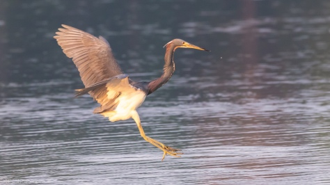 Tricolored Heron Landing In A Marsh - click to enlarge